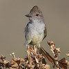 Ash-throated Flycatcher, Kelso Valley Road, Kern County, CA, 17-June-2014