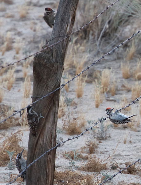 Ladder-backed Woodpecker Family, Kelso Valley Road, Kern County, CA, 17-June-2014