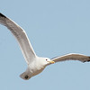 Western Gull,  Sunnyvale WPCP and Bay Trail to A3W, 24-June-2014