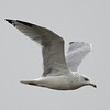 Ring-billed Gull, Struve Slough East, Watsonville, Santa Cruz County, CA, 20-Sep-2014