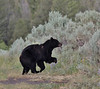 Ursus americanus, Black Bear. E of Mammoth Hot Springs, N.W. WY
