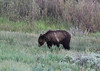 Ursus arctos, Grizzly Bear. SE of Silver Gate, N.W. WY