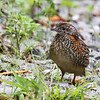 November 19, 2011.  Mt. Lewis.  Queensland, Au. Painted Buttonquail (Turnix varius)