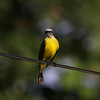Gray-capped-Flycatcher_Drake-Bay_CostaRica-1078