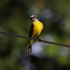 Gray-capped-Flycatcher_Drake-Bay_CostaRica-1077
