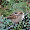 A little female House Sparrow decided to visit.