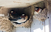 Cliff Swallows Nesting at a Pit Toilet