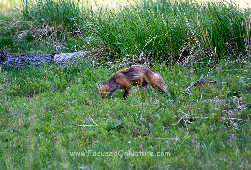 Red Fox Female