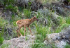 Rocky Mountain Elk Calf