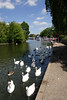Swans at Windsor Berkshire UK