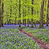 Path through the bluebells