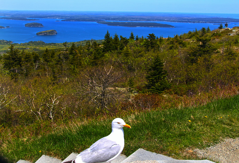 Acadia National Park, Cadillac Mountain, Sea Gull