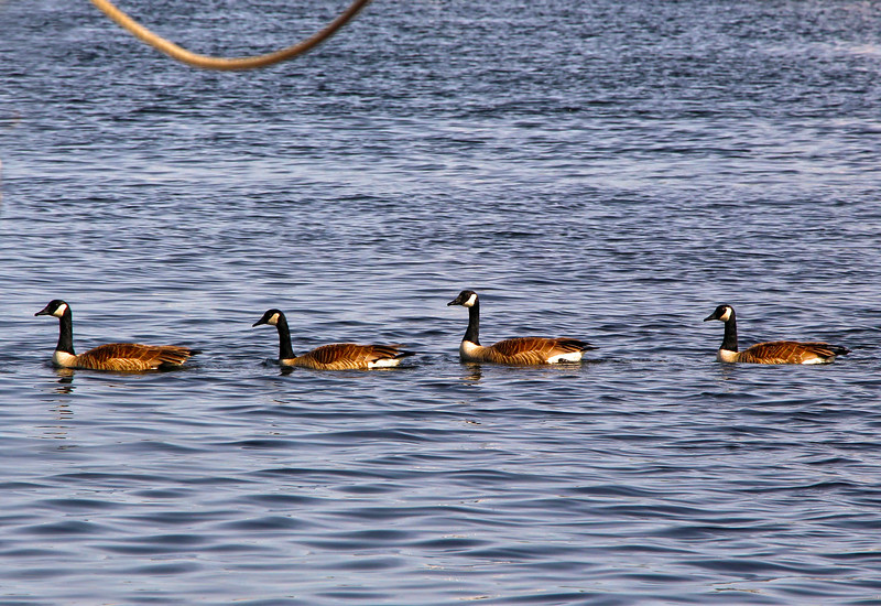 Camden Maine, Waterfowl in Harbor