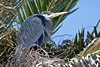 Great Blue Heron nesting in Palm trees at Bolsa Chica Ecological Reserve, Huntington Beach