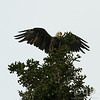 BALD EAGLE TAKING OFF