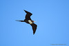 'Iwa / Great Frigatebird (Fregata minor) ♀