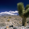 Joshua Tree, Desert National Wildlife Refuge, Nevada