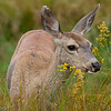 Female Mule deer grazing in the meadows. Yosemite valley, Yosemite National Park, California, USA.