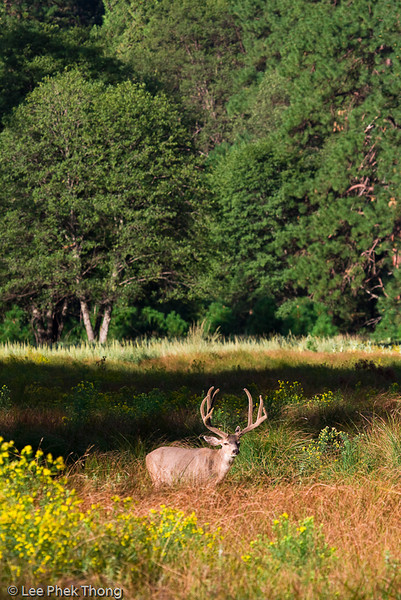 Adult male Mule Deer at the meadows. Yosemite valley, Yosemite National Park, California, USA.