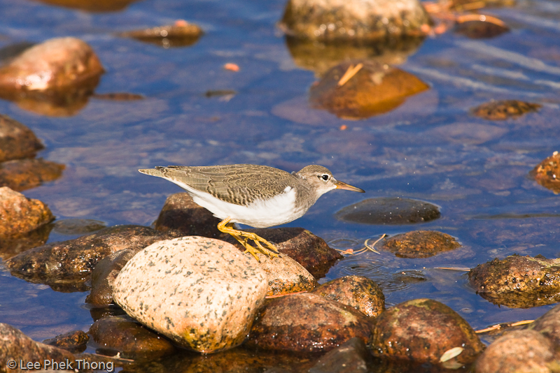 Common sandpiper along the banks of Tuolumne River Tuolumne Meadows, Yosemite National Park, California, USA.
