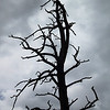 I like the drama of a bare-branched tree against dark clouds. Or is this story really a tragedy about beetle infestation?