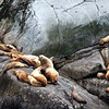 Steller Sea Lions Off Skagway, Alaska June 2013