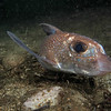 untitled-6221125 - Spotted rat fish / chimera.