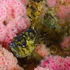 A black and yellow rockfish standing out against the pink corynactis on the Eureka Oil Rig structure.