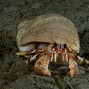 Hermit Crab in a moonsnail shell