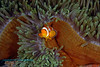 False Clown Anemonefish 4