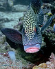 Many-Spotted Sweetlips 1