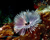 Feather Duster Worm 1