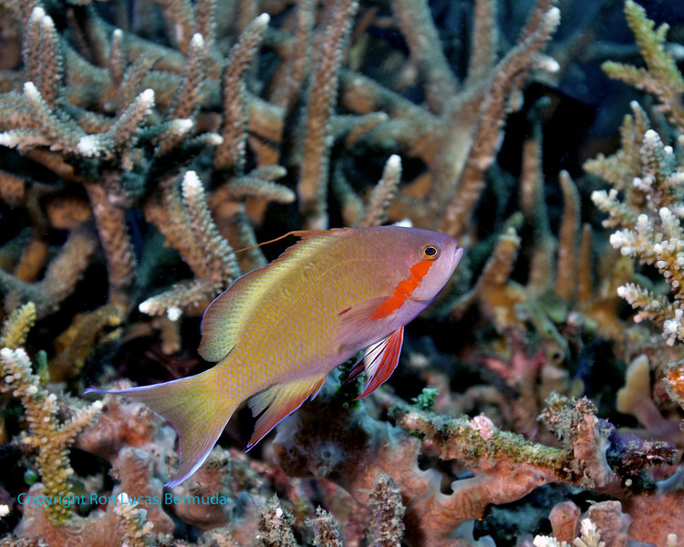 Threadfin Anthias 2