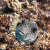 Stripebelly Puffer with Remora fish