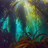 Light rays glisten through the kelp off of Anacapa Island.
