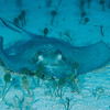 Southern Stingray  Stingrays scour the sandy bottom for small fish and crustaceans.  Turks & Caicos