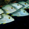 The Eyes Have It  A school of Snappers hangs out under a ledge on the Dome.  Turks & Caicos