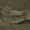 leaf skeleton on canvas