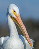 White Pelican Portrait