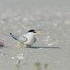 least tern nest next to plastic trash