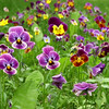 back yard pansies