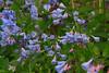 VA MANASSAS BULL RUN REGIONAL PARK BLUEBELL TRAIL APRILAC_MG_7698MMW