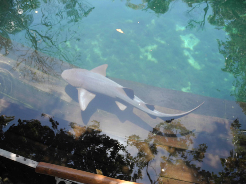 318 Nurse shark at the Park
