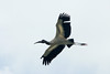 May 3, 2014 - (Everglades National Park [Flamingo] / Miami-Dade County, Florida) -- Wood Stork
