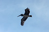 April 30, 2014 - (Big Pine Key / Monroe County, Florida) -- Brown Pelican