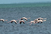 May 2, 2014 - (Biscayne National Park [trail] / Florida City, Miami-Dade County, Florida) -- American Flamingos