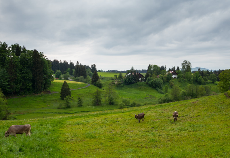 Cows grazing in the field.  As soon as they saw us they started coming towards us.