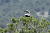 July13, 2012 (Collegiate Mountain Overlook / Buena Vista, Chaffee County, Colorado) -- Clark's Nutcracker in Pinyon Pine Tree