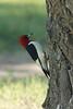 June 4, 2014 - (Lake Ogallala State Recreation Area / Ogallala, Keith County, Nebraska) -- Red-headed Woodpecker