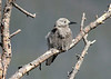 June 13, 2014 - (Rocky Mountain National Park [Trail Ridge Road] / Estes Park, Larimer County, Colorado) -- Clark's Nutcracker